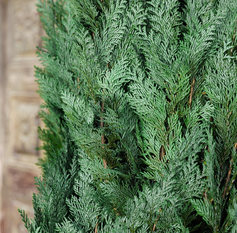 Conifer Columnaris / Stardust