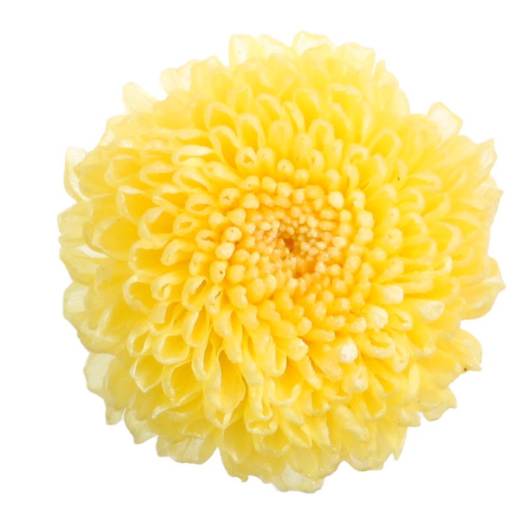 Chrysantemum