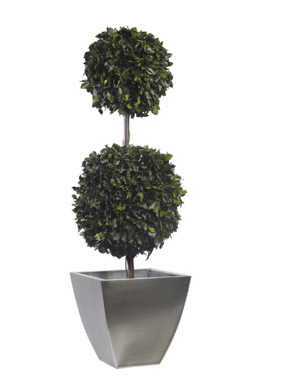 Topiary Hedera