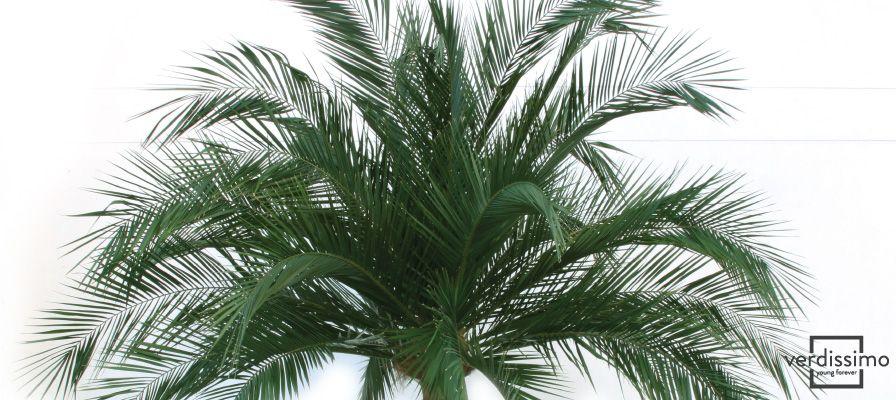 arboles preservados en interiores la Palma Phoenix - Verdissimo