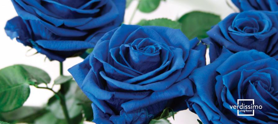 Quelle est l'origine des roses bleues? - Verdissimo