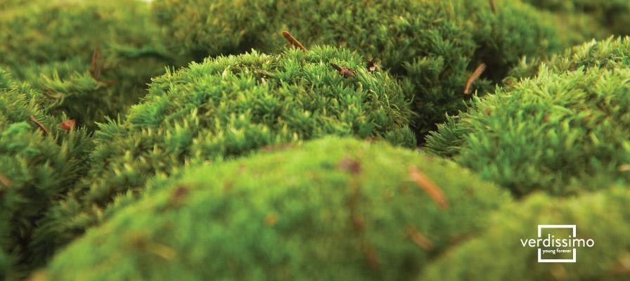 Musgo Preservado grande - Verdissimo