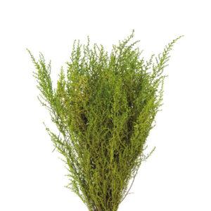 Stoebe - miniatura - verdissimo