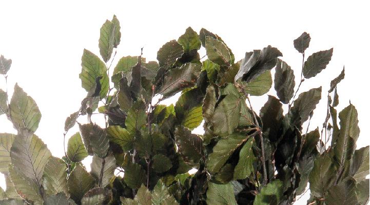 fagus detalle verdissimo