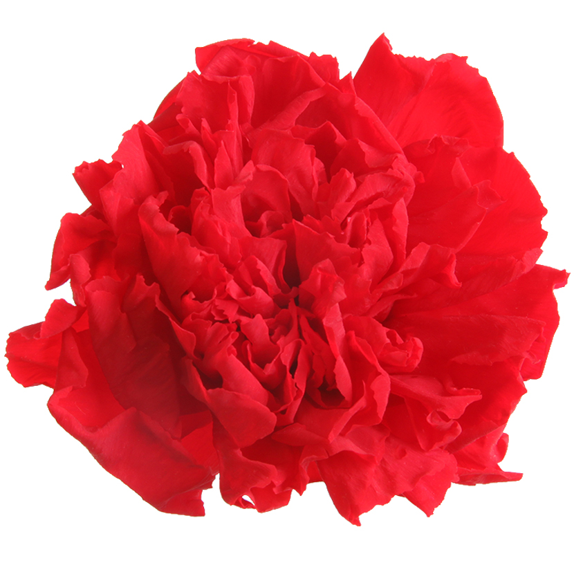100/% Natural Carnation Preserved Flowers 23COLORS 8PCS//BOX
