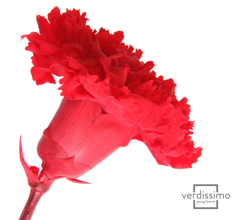 Carnation - National Flower Emblem of Spain
