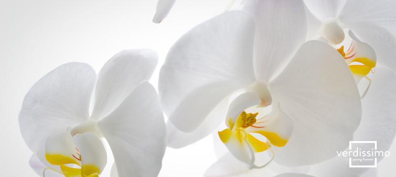 Significado orquidea Blanca - Verdissimo