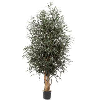 Wide Parvifolia - Verdissimo