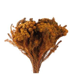 Brunia Albiflora - Verdissimo