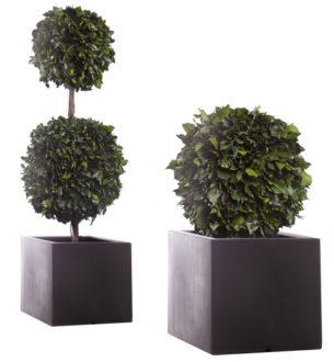 Topiary Hedera - Verdissimo