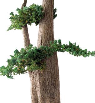 Jumbo Juniperus - Verdissimo