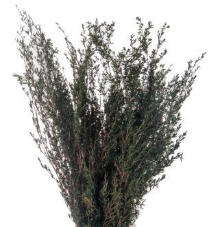 Leptospermum myrtifolia - Verdissimo