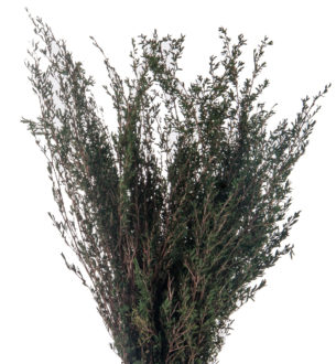 Lepto Myrtifolia - Verdissimo