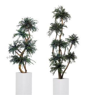 Topiary Parvifolia / Tenuifolium - Verdissimo