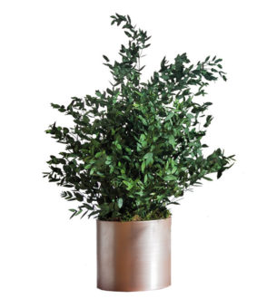Parvifolia-Pflanzen - Verdissimo
