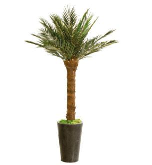 Palmiers Phoenix - Verdissimo