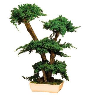 Bonsai Procumbens - Verdissimo