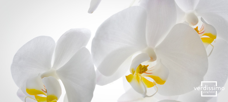 the wisdom of the white orchid verdissimo