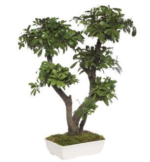 盆栽  トベラ / テニフォリウム - Verdissimo