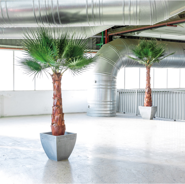 Washingtonia palm tree - Verdissimo