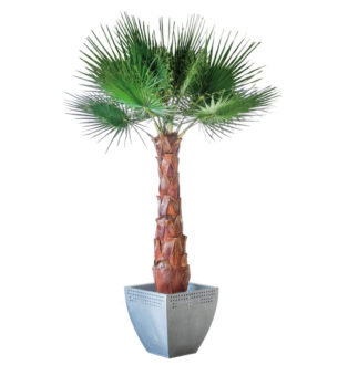 Palmiers Washingtonia - Verdissimo