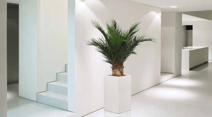 Phoenix Palm Tree - Verdissimo