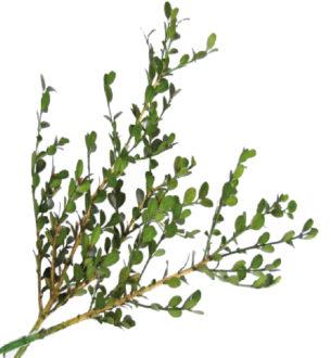 Boxwood (Buxus) - Verdissimo