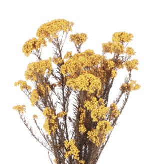 Rice Flower (Diosmi) - Verdissimo