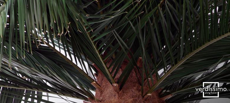 el-arbol-preservado-del-mes-palmera-phoenix-verdissimo