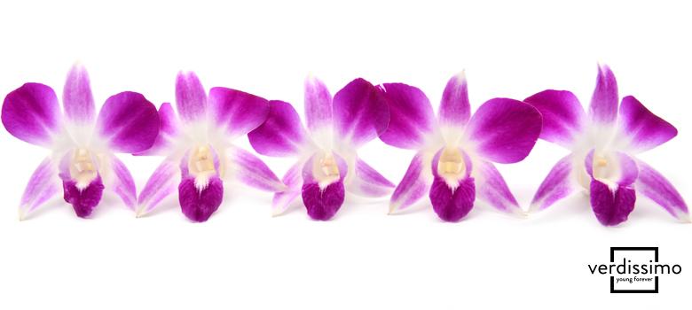 la orquidea dendrobium - verdissimo