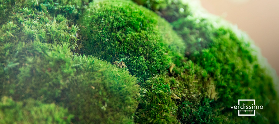 musgo-interna-verdissimo