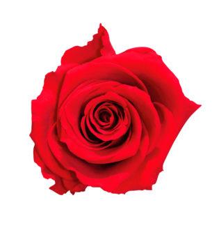Rosa tallo Jardín - Verdissimo