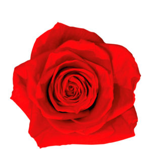 Rosa Premium - Verdissimo