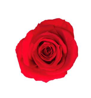 Rosa Standard - Verdissimo