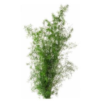 Sprengeri Fern - Verdissimo