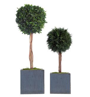 Topiary Thuja / Tenuifolium - Verdissimo