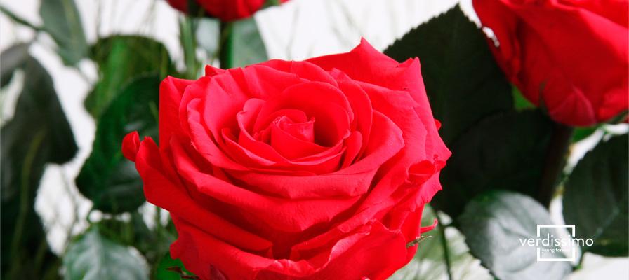 Que sont les roses éternelles? - Verdissimo