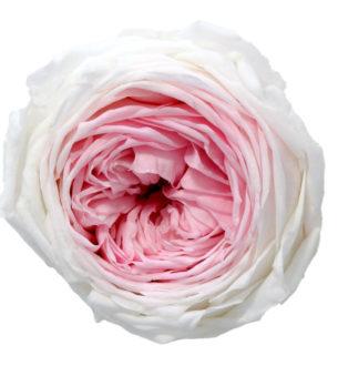 Rose jardin - Verdissimo