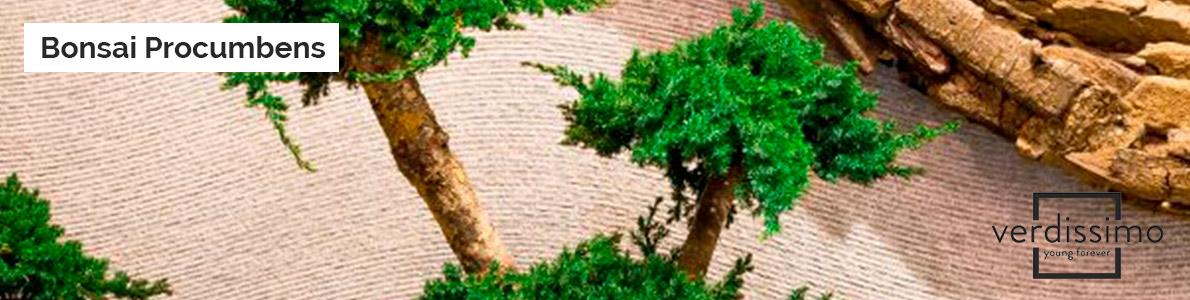 Bonsai-Procumbens-verdissimo