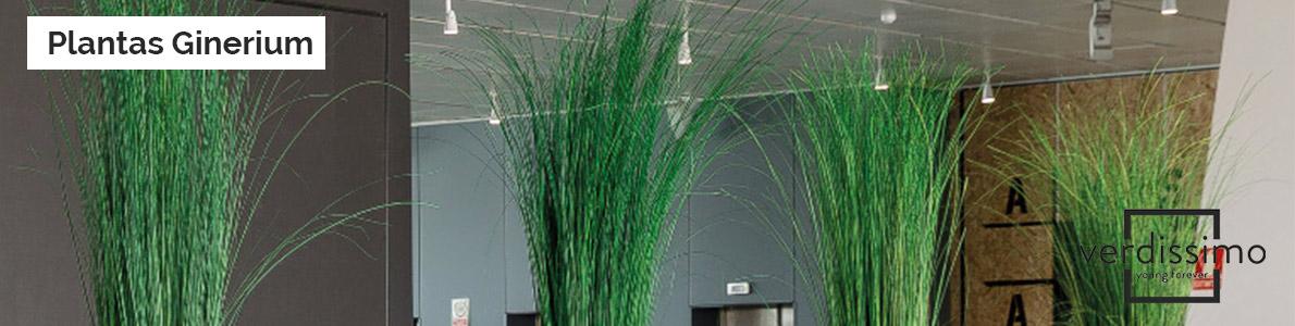 Plantas-Ginerium-verdissimo