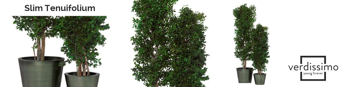 Slim-Tenuifolium-verdissimo