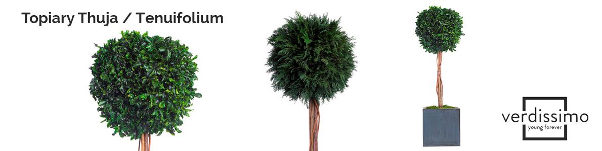Topiary-Thuja--Tenuifolium-verdissimo