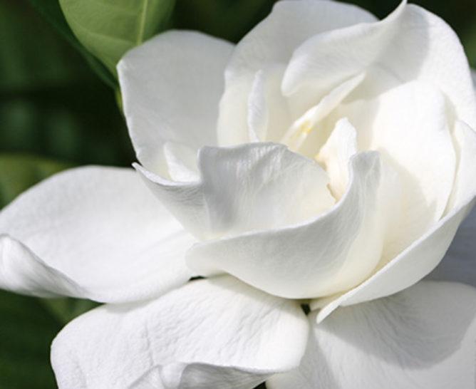 Meaning behind the gardenia - Verdissimo