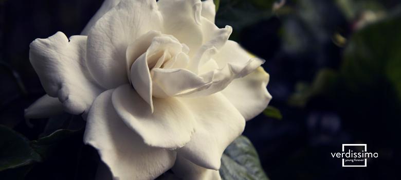 Significado de la gardenia - Verdissimo