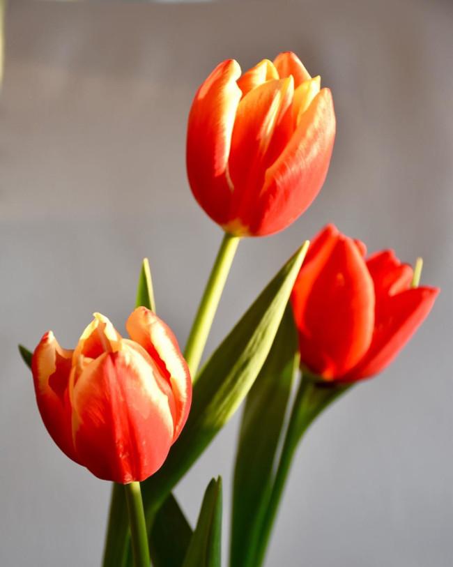 tulipanes - verdissimo
