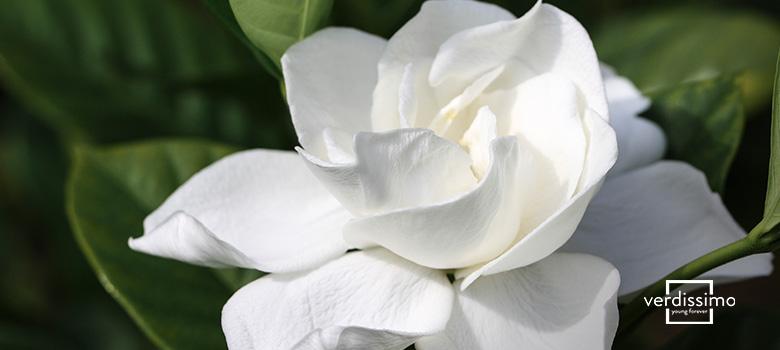 Die Bedeutung der Gardenie - Verdissimo