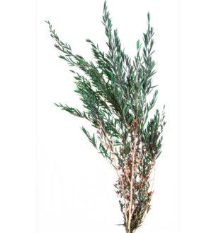 Lepto Lungifolia - Verdissimo