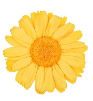 Gerbera Daisy Standard - Verdissimo
