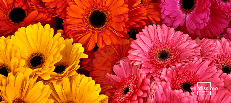 meaning of the gerbera origin and symbolism - verdissimo