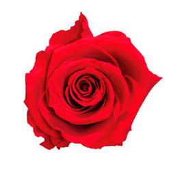 Rosa extra - Verdissimo